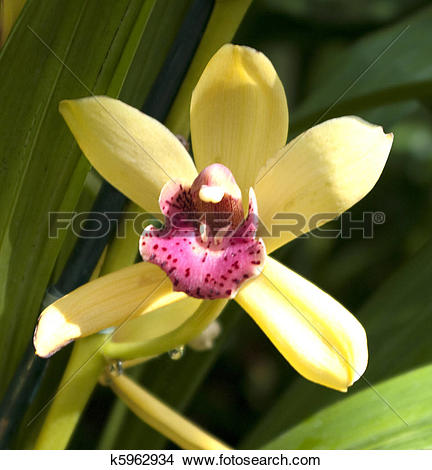 Stock Photo of Bright yellow orchid with pink lip on green leaf.
