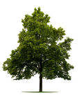 Stock Illustrations of Linden Tree isolated on white csp2158287.