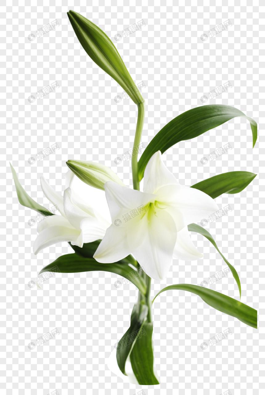 flor de lirio Imagen Descargar_PRF Gráficos 400862838_png.
