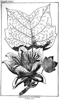 Pin by Chris Buck on Liriodendron tulipifera.