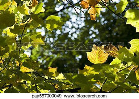 Stock Photograph of Sunlit fall foliage of Tulip Poplar tree.