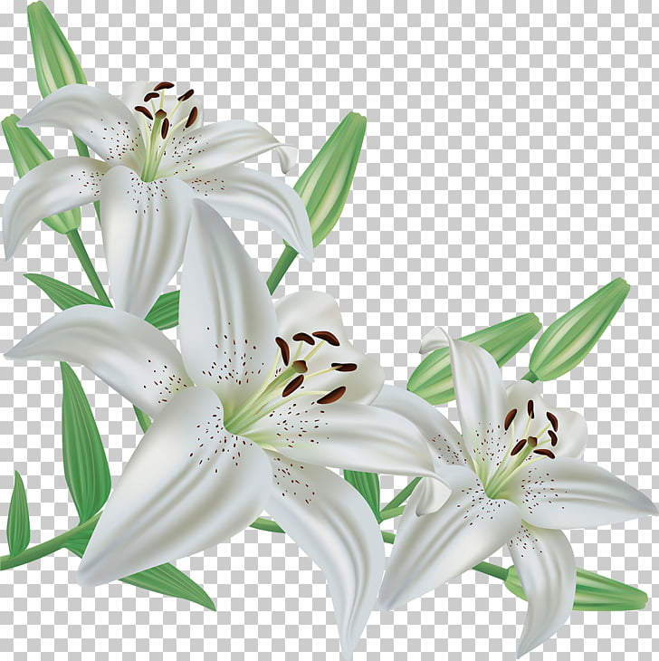Easter lily Madonna Lily Desktop , lirio PNG clipart.
