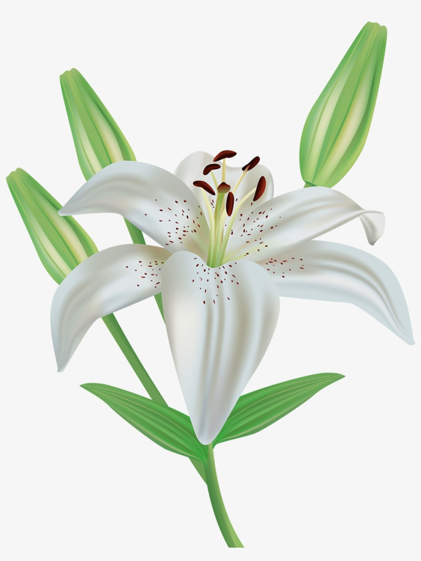 Lily Flower Clipart Png Image.
