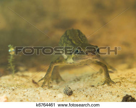 Stock Photography of female newt lissotriton vulgaris frontal view.