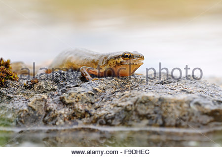 Newt Stock Photos & Newt Stock Images.