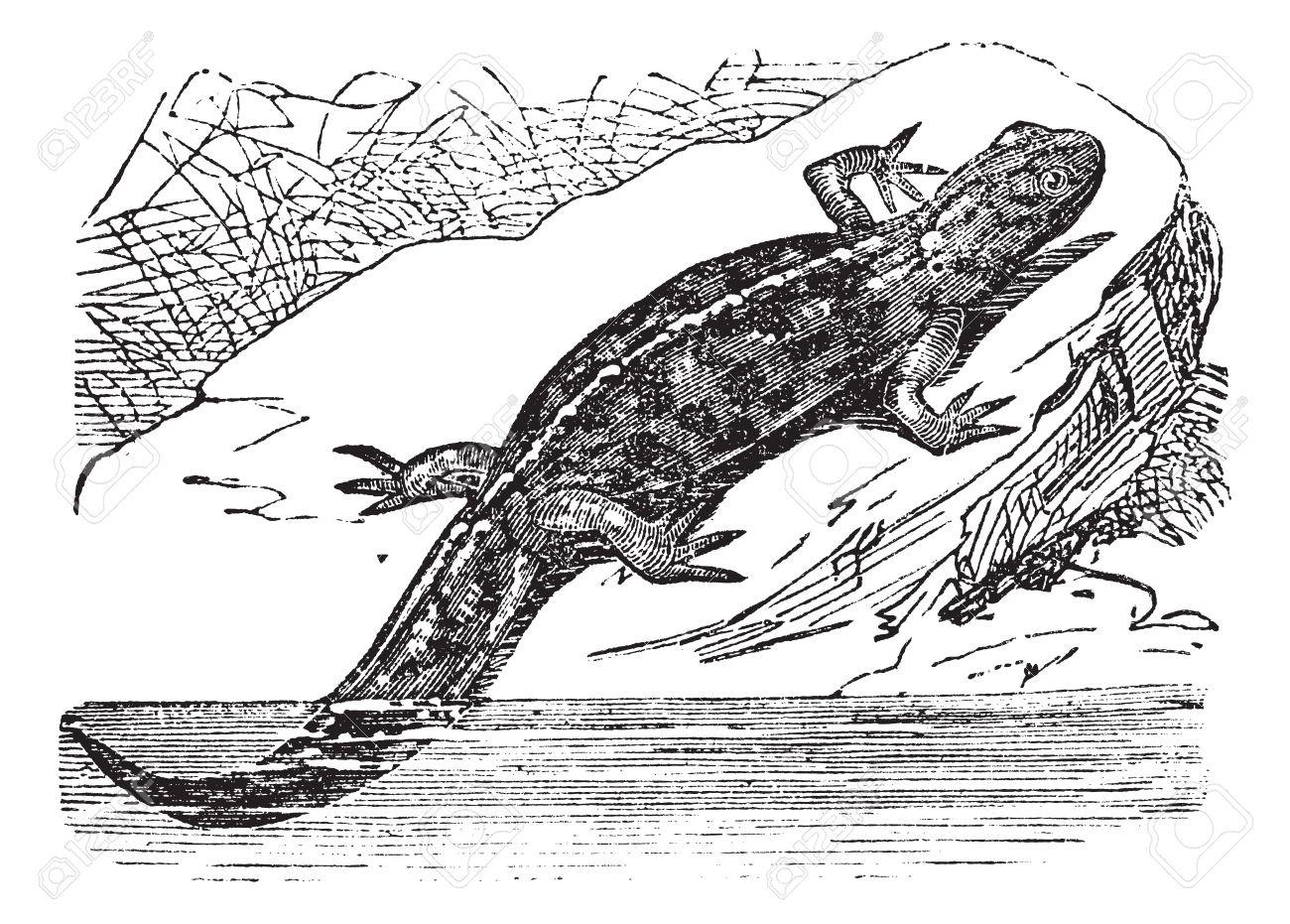 Smooth Newt Or Lissotriton Vulgaris, Vintage Engraved Illustration.