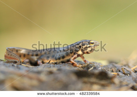 Common Newt Stock Images, Royalty.