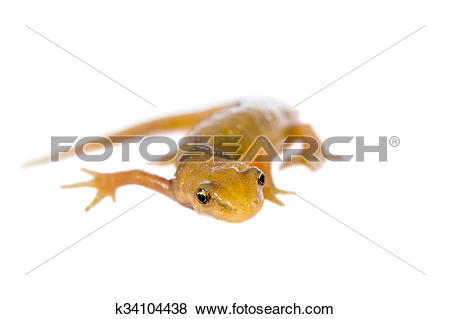 Pictures of The smooth or common newt, Lissotriton vulgaris, on.