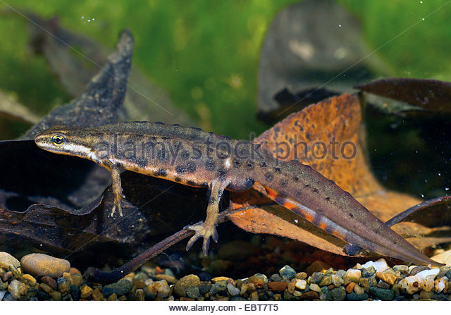 Smooth Newts Triturus Vulgaris Stock Photos & Smooth Newts.
