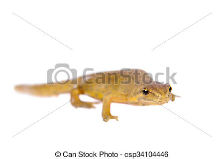 Stock Photo of The smooth or common newt, Lissotriton vulgaris, on.