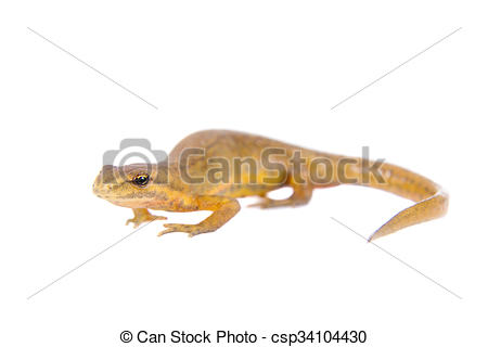 Stock Photos of The smooth or common newt, Lissotriton vulgaris.