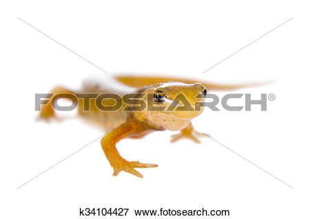 Picture of The smooth or common newt, Lissotriton vulgaris, on.