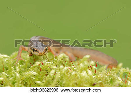 "Stock Images of ""Smooth Newt or Common Newt (Lissotriton vulgaris."