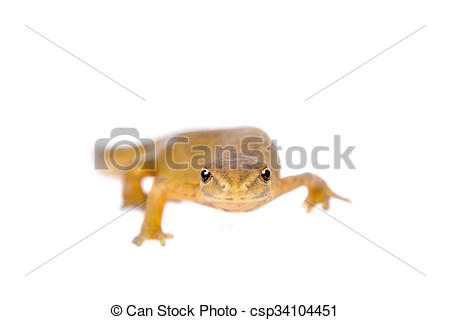 Stock Images of The smooth or common newt, Lissotriton vulgaris.