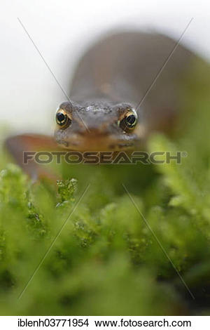"Stock Photo of ""Smooth newt (Lissotriton vulgaris), Lower Saxony."