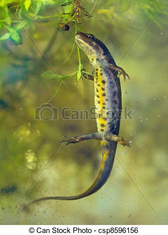 Stock Image of female newt lissotriton vulgaris swimming in water.