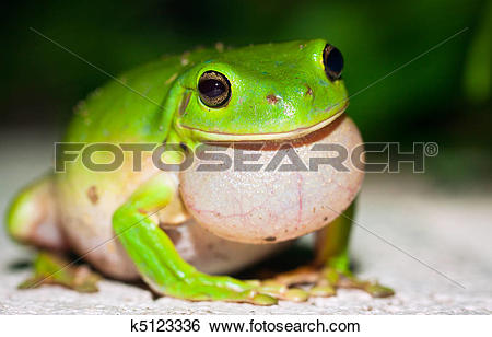 Stock Images of Male Green tree frog (Litoria caerulea) calling.