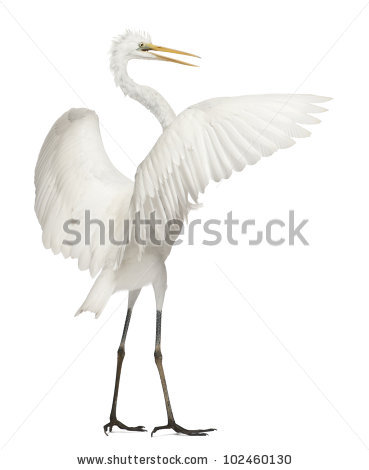 Egret Bird Stock Photos, Royalty.