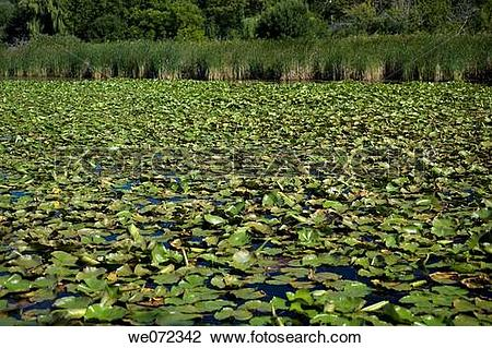 Stock Photo of WATERLILIES. LITTLE LAKE MUSKOGEE WISCONSIN. USA.
