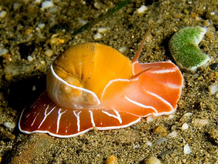 17 Best images about Animal: Molluscas on Pinterest.