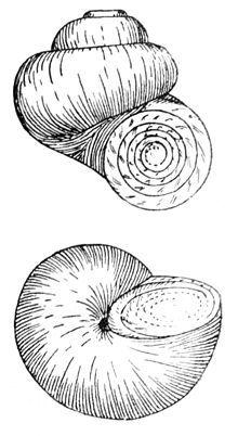 Ctenidium (mollusc).