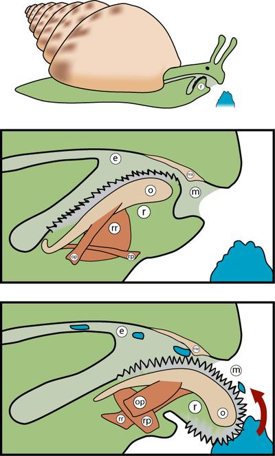 Gasterópodos.