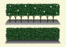 Hedgerow Live Fence Leaves Stock Illustrations.