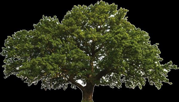 HD Oak Tree Scientific Name , Free Unlimited Download.