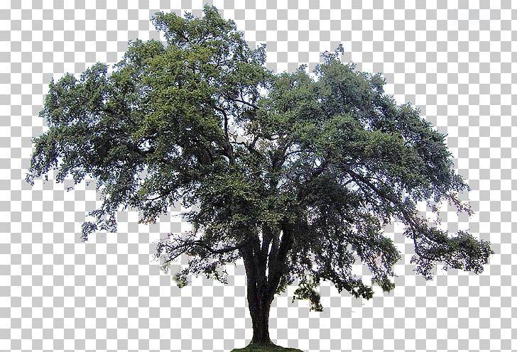 Ulmus Americana Southern Live Oak Tree Crab PNG, Clipart.