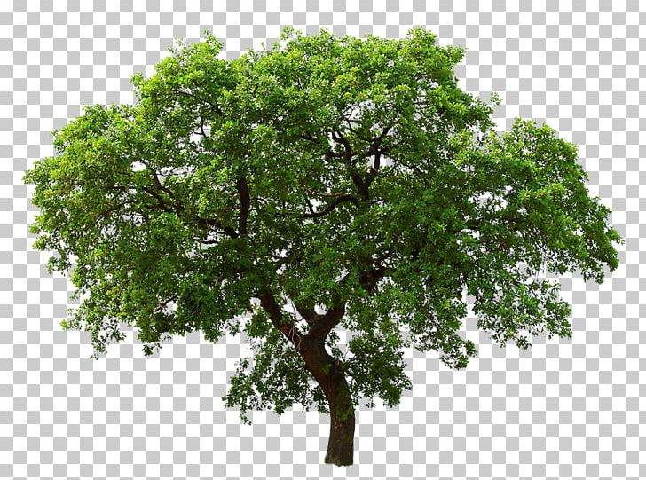 Tree Southern Live Oak PNG, Clipart, Branch, Computer Icons.