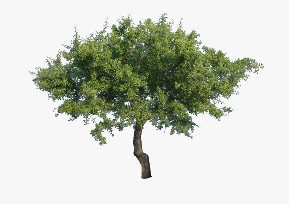 Live Oak Tree Png.