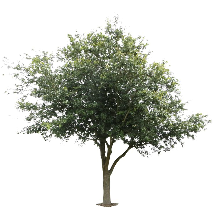 Live Oak Png , (+) Pictures.