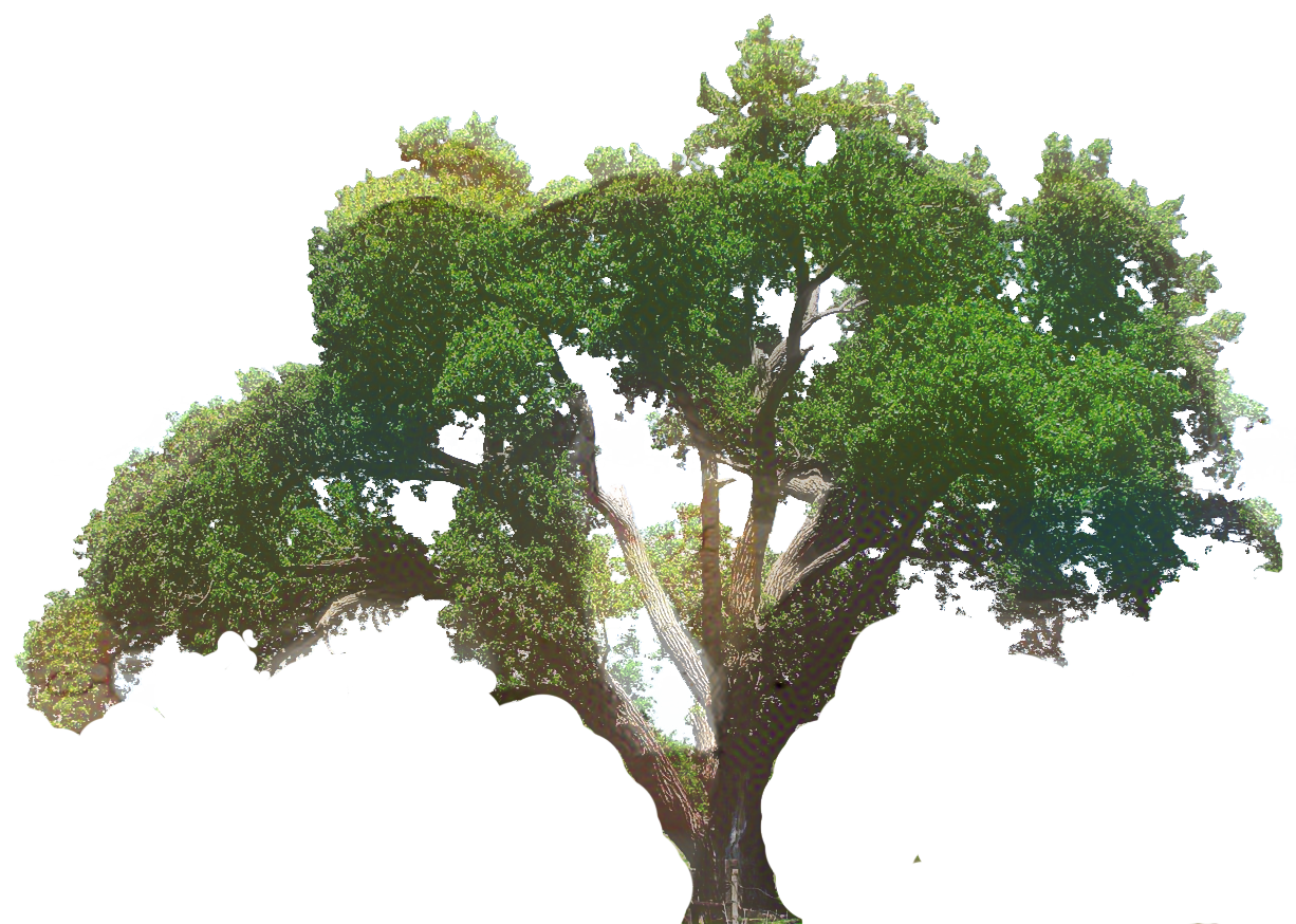 Clip art Southern live oak Tree Portable Network Graphics.