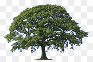 Live Oak Png (108+ images in Collection) Page 2.