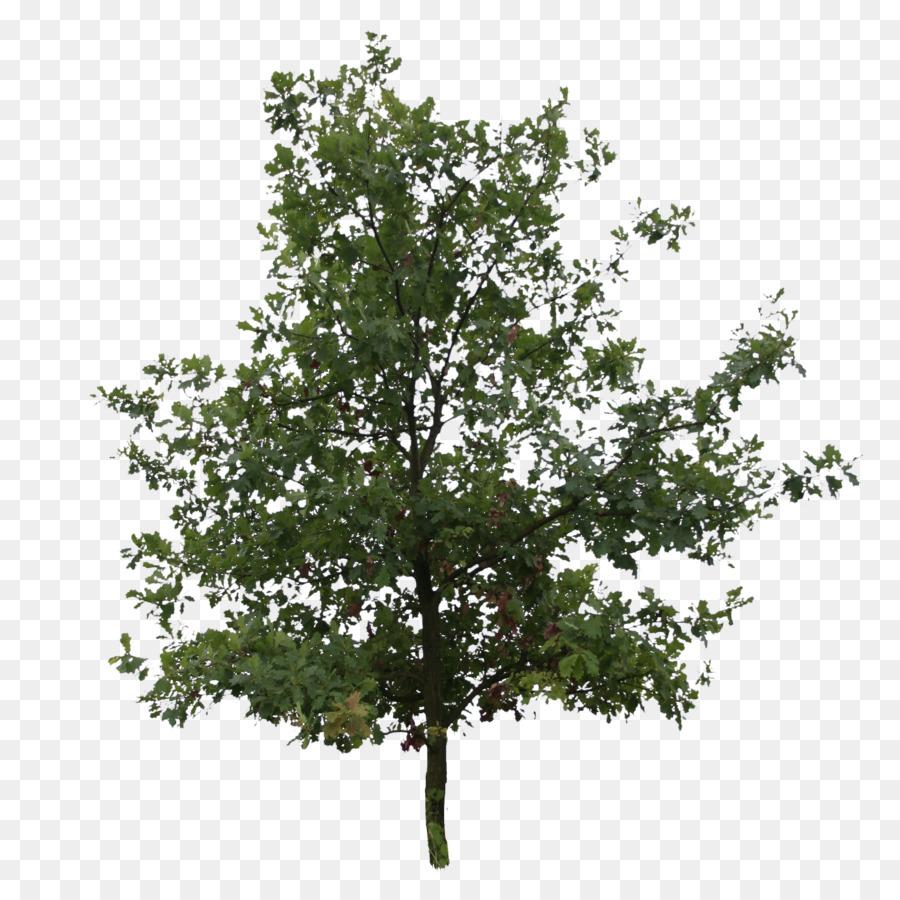 Download Free png English oak Southern live oak Tree.