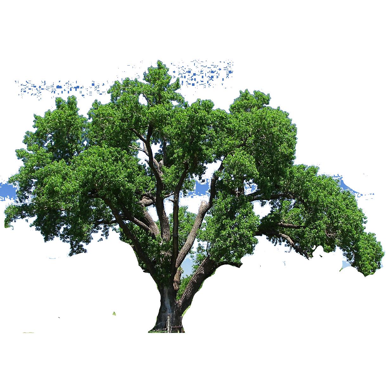 Southern live oak Tree Flowering dogwood Clip art.