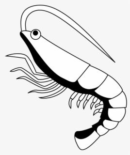 Free Shrimp Clip Art with No Background.
