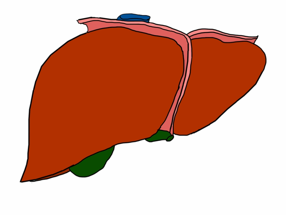 Cartoon Liver No Background Free PNG Images & Clipart.