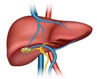 Human liver clipart.