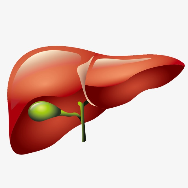148 Liver free clipart.