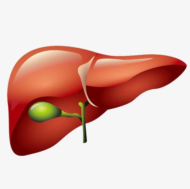 Liver PNG, Clipart, Cartoon, Cartoon Liver, Human, Human.