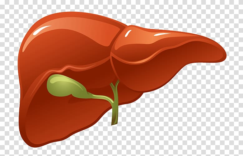 Organ Liver Human body Kidney, others transparent background.