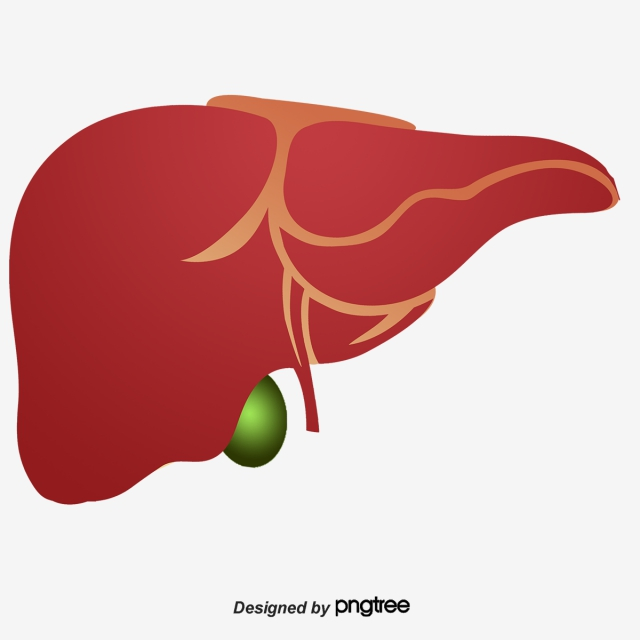 Download Free png Human Liver PNG Images.