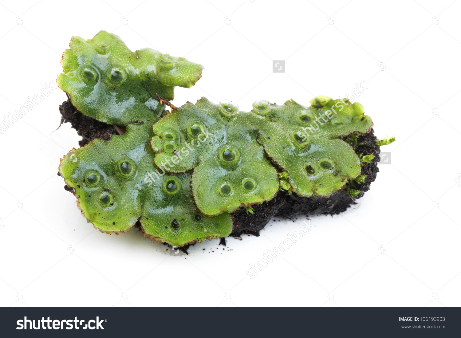 Liverwort Moss On White Stock Photo 106193903.