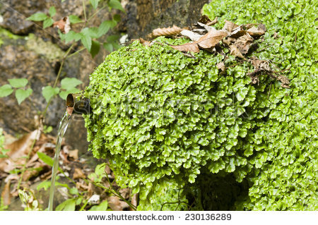 Liverwort Stock Photos, Royalty.