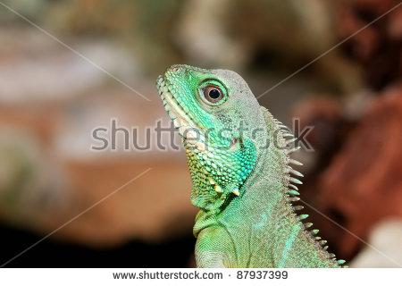 Thai Lizard On Tree Stock Photo 64161274.