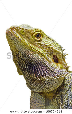 Lizard Isolated Stock Photos, Royalty.