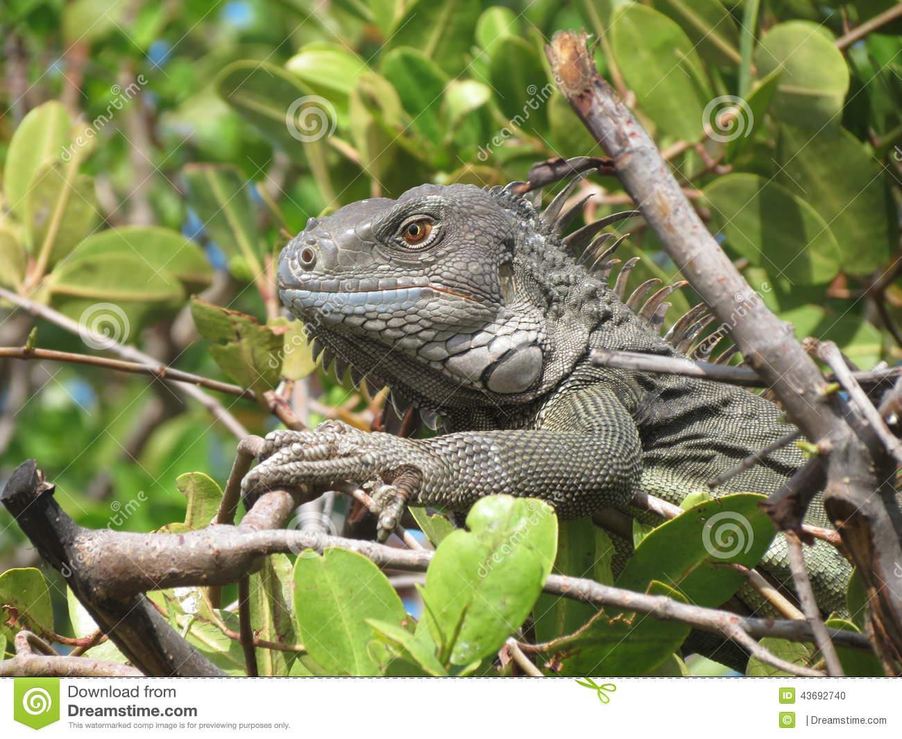 Head View Of A Green Common Iguana Reptile Dragon Lizard Stock.
