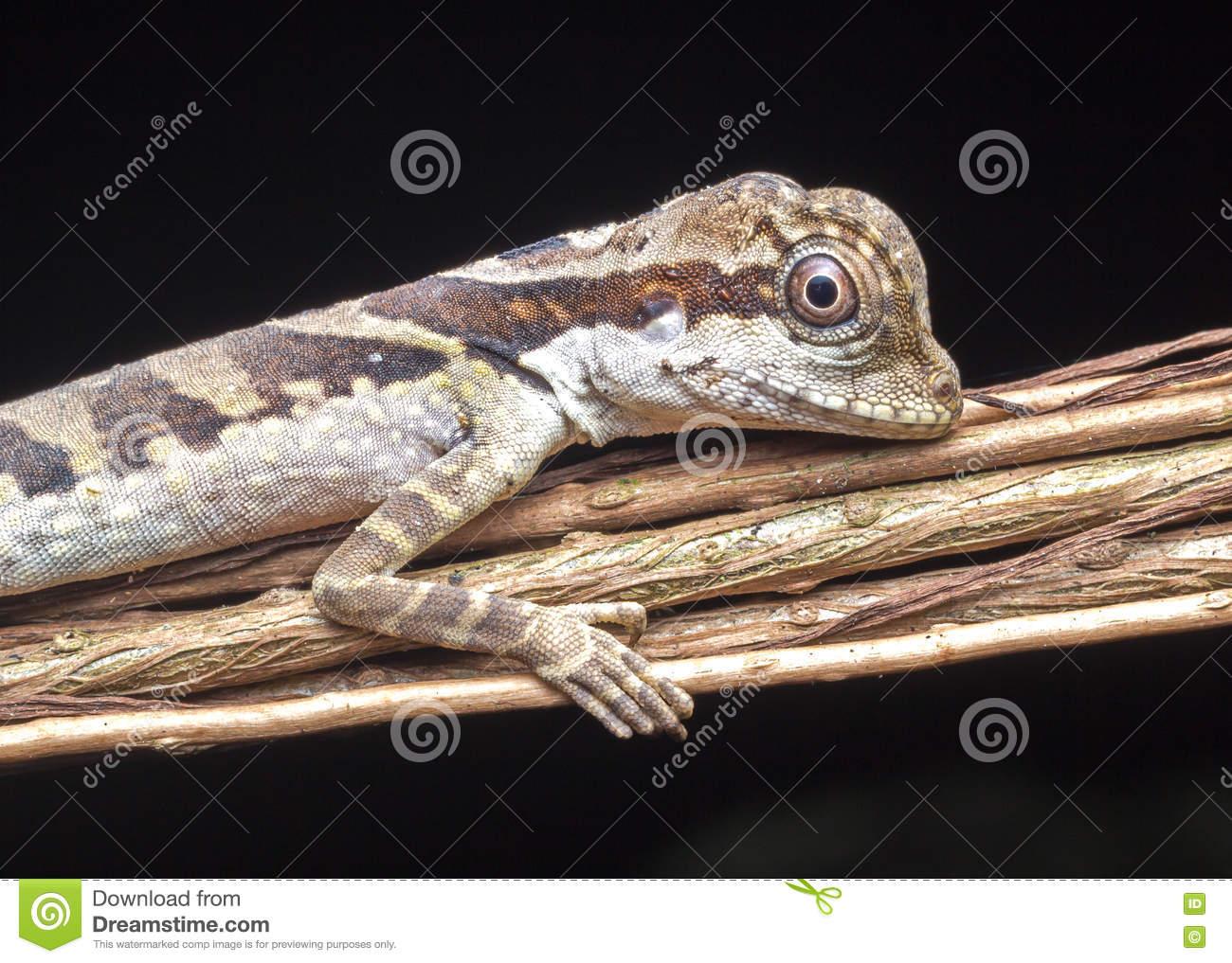 Angle Head Lizard. Stock Photo.