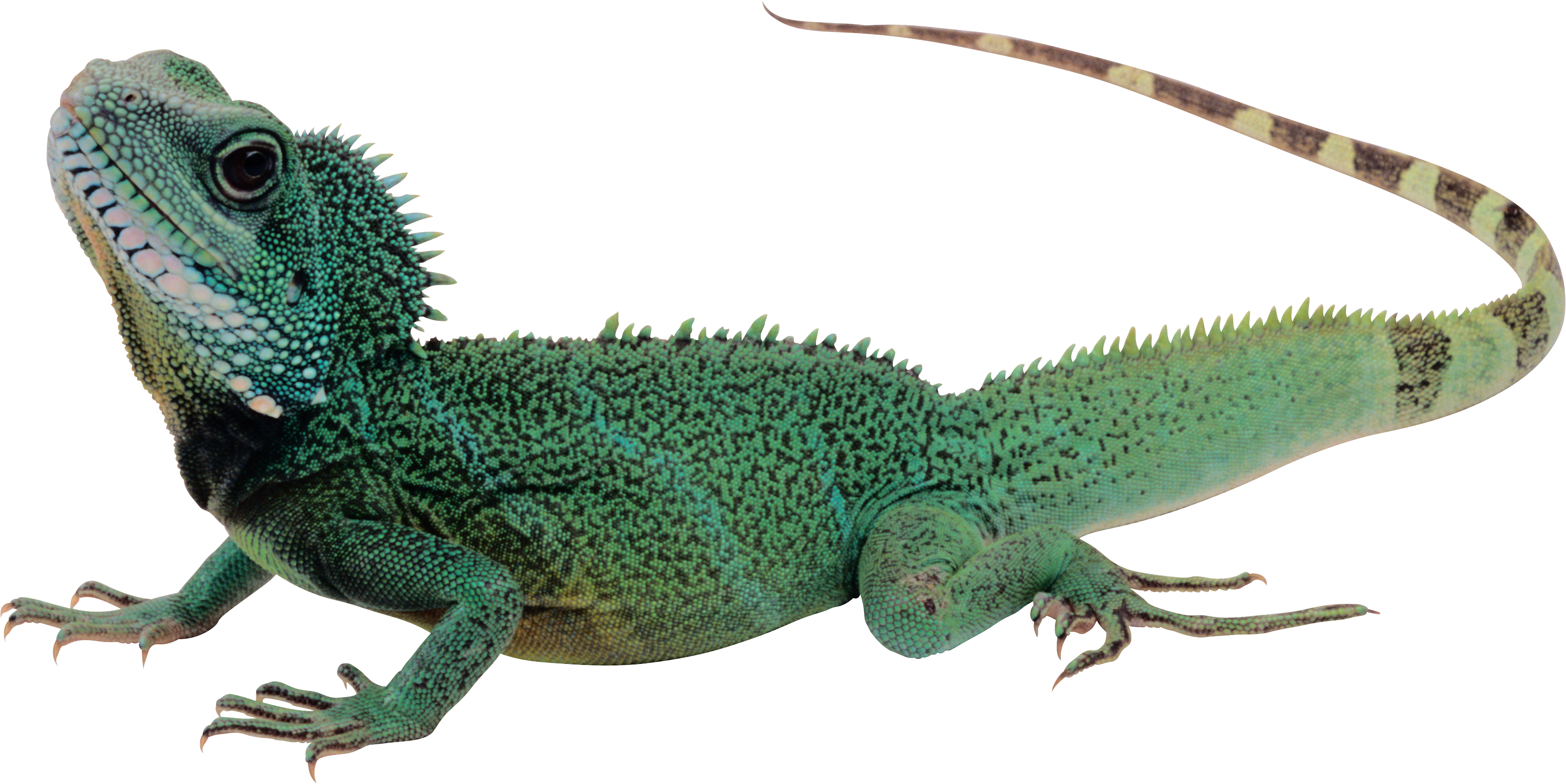 Lizard PNG images free download.